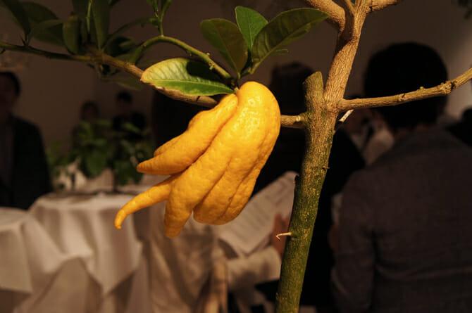 Citrus medica 'Sarcodactylis'(仏手柑)不老不死の珍果としてインドから中国を経て日本に伝わった柑橘類