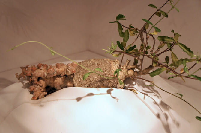 Fockea edulis(火星人)火星人という和名がついているのも納得の多肉植物