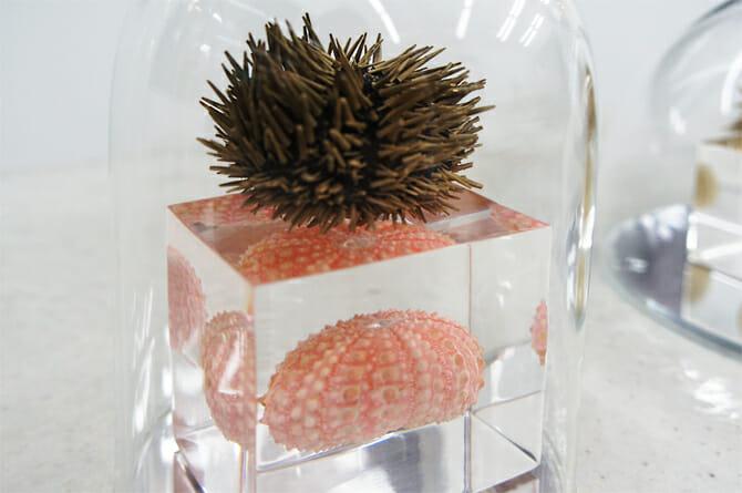 正形類:ナガウニ属の一種