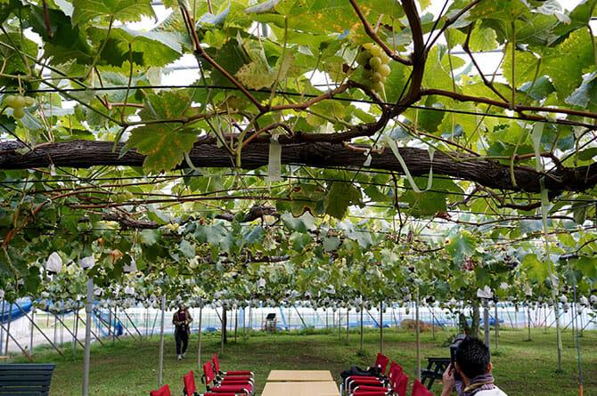 燕三条「畑の朝カフェ」渡辺果樹園にて、葡萄畑でもぎたての葡萄や梨のスムージーを楽しめる