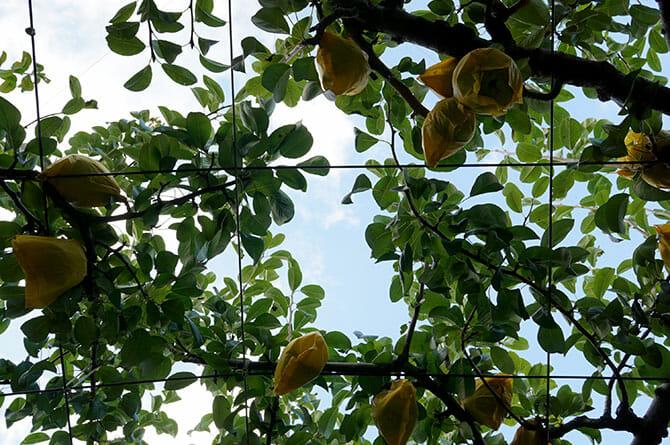 燕三条「畑の朝カフェ」渡辺果樹園にて、梨畑に寝転がり青い空を見る、大地と植物の息吹を感じることができる
