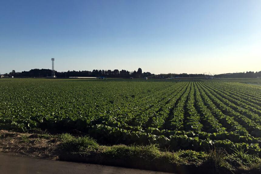 一面のキャベツ畑。夏にはひまわり畑になる