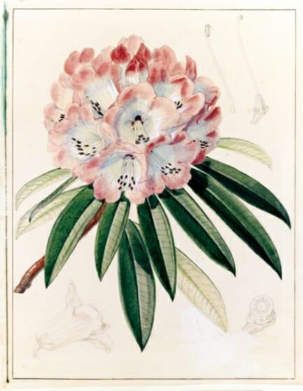 シャクナゲ類の一種(Rhododendron arboreum) キュー王立植物園所蔵