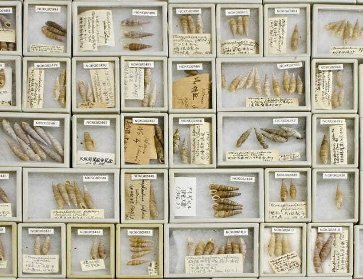 キセルガイ科の標本 (黒田コレクションより) 所蔵:西宮市貝類館、撮影:佐治康生