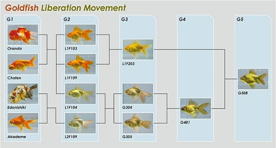 金魚解放運動